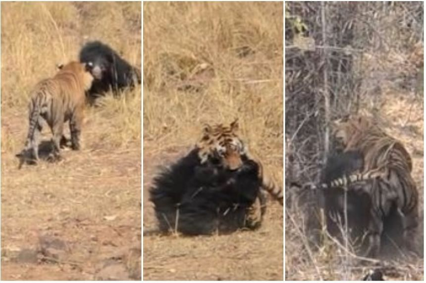 The ferocious battle between the jungle giants was captured on film by a tour guide in Maharashtra who had a ringside seat to the 15-minute brawl as the mother fought off the predator.