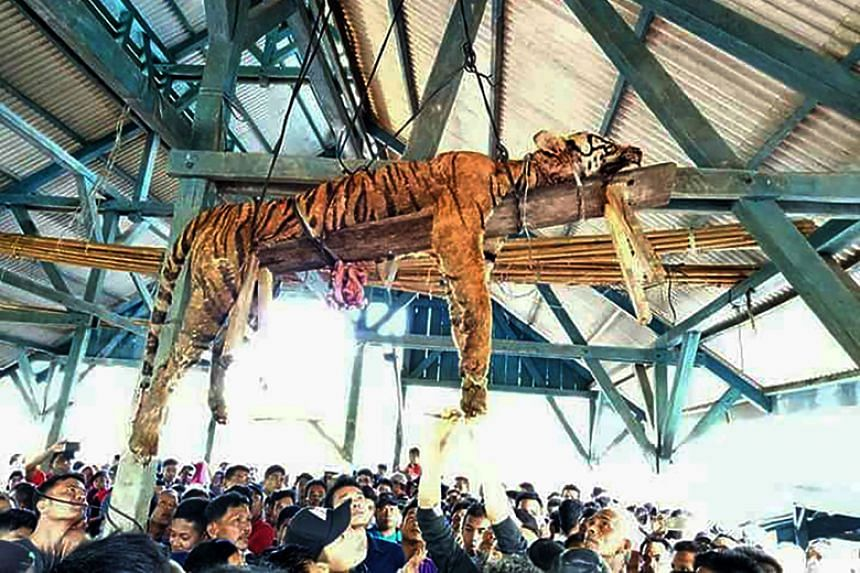 The carcass of a Sumatran tiger hangs from a ceiling as villagers gather underneath in North Sumatra on March 4, 2018. Villagers had disemboweled the critically endangered tiger after it attacked a pair of locals, a conservation official said.