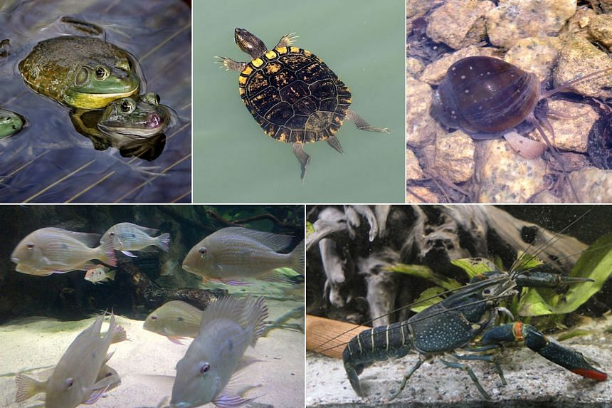 Examples of invasive species that can now be found in Singapore (clockwise from top left): American bullfrog, red-eared slider, golden apple snail, Australian red-clawed crayfish, Geophagus altifrons.