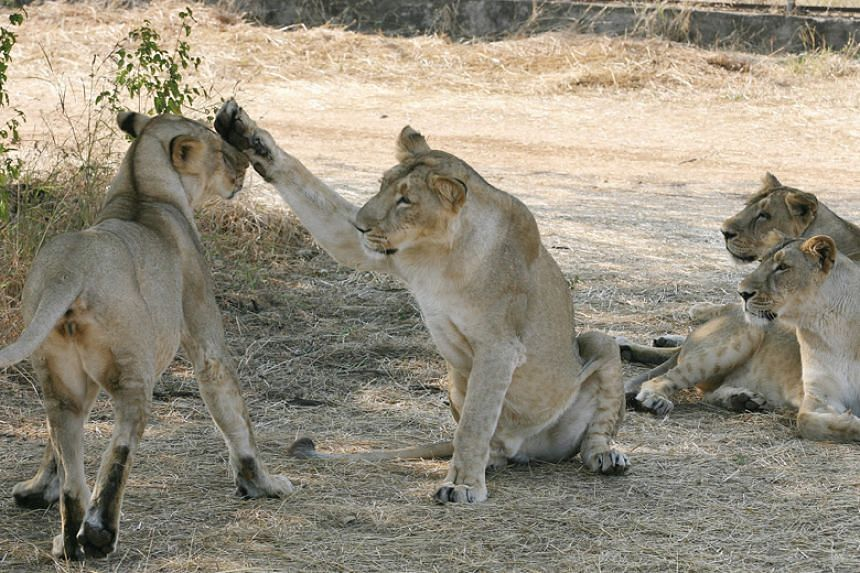 The Asiatic lion population is currently growing at about two per cent a year.