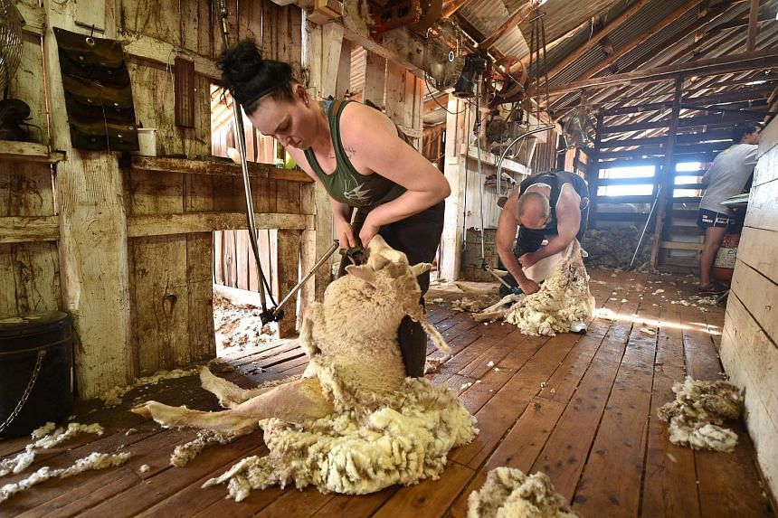 Australian sheep shearer Emma Billet shearing a sheep on a station outside the town of Trangie in western New South Wales.