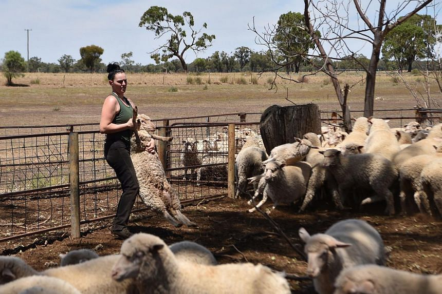 Australian sheep shearer Emma Billet carrying a sheep on a station outside the town of Trangie in western New South Wales.
