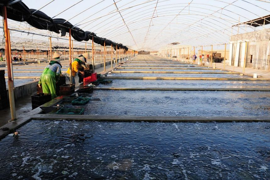 One of Oceanus Group's land-based abalone farms in China.