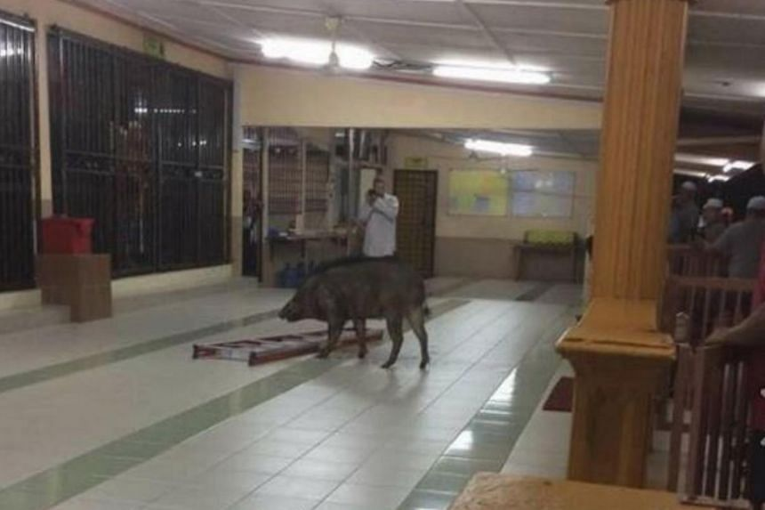 A mosque-goer was injured by the wild boar amidst the ruckus at Masjid Jamek Sungai Plong on March 6, 2018.
