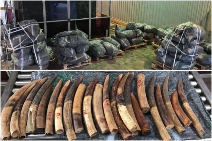 Agri-Food and Veterinary Authority officers inspected the shipment at Pasir Panjang Scanning Station and uncovered 1,787 pieces of ivory tusks in 61 bags, totalling about 3,500kg.