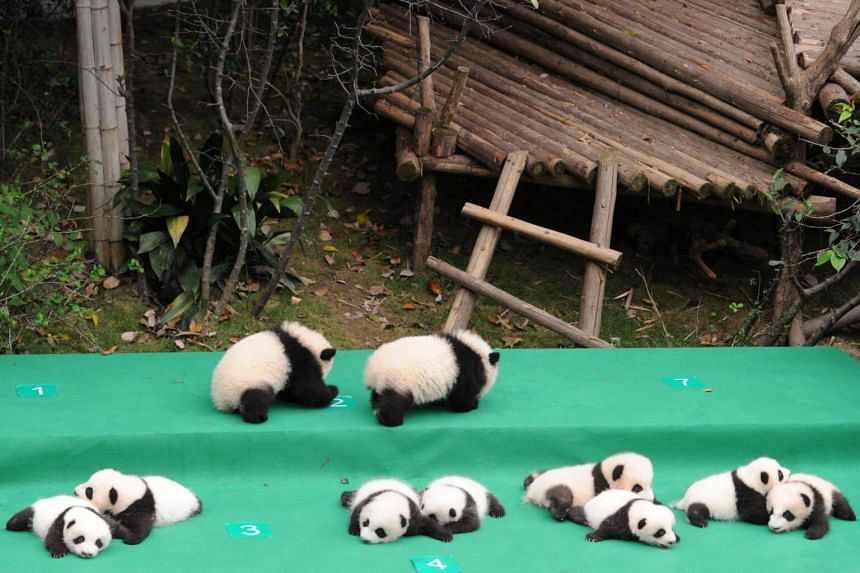 Giant pandas born in 2017 on display at the Chengdu Research Base of Giant Panda Breeding in Chengdu, Sichuan province, China.