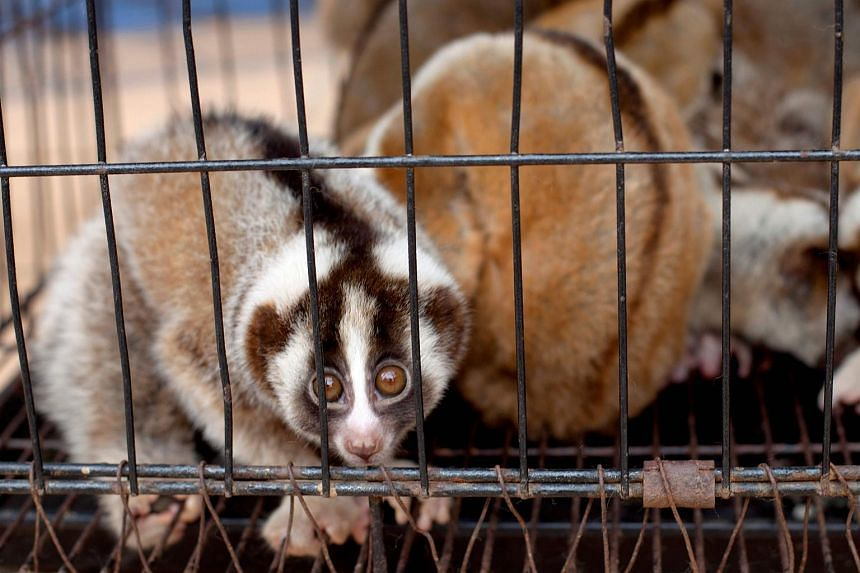 Rescued slow loris being held in a cage at the International Animal Rescue Indonesia in Bogor, Indonesia, on Oct 18, 2016. Animal conservation groups in Indonesia are going hi-tech in their battle against traffickers in the South-east Asian archipela