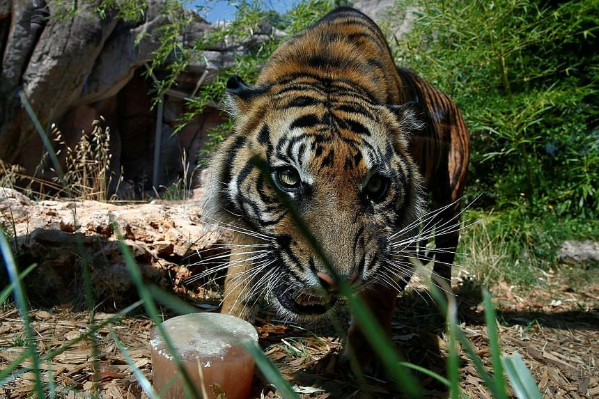 A Sumatran tiger at Italy's Bioparco zoo. There have been two deadly attacks in Indonesia this year.