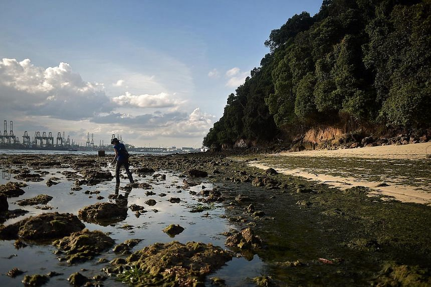The rocky seashore on Sentosa's west coast at low tide. Most of the island's rocky outcrops have been left untouched in their natural form, says Ms Grace Lee, director for environment management at Sentosa Development Corporation. Geologist Grahame O
