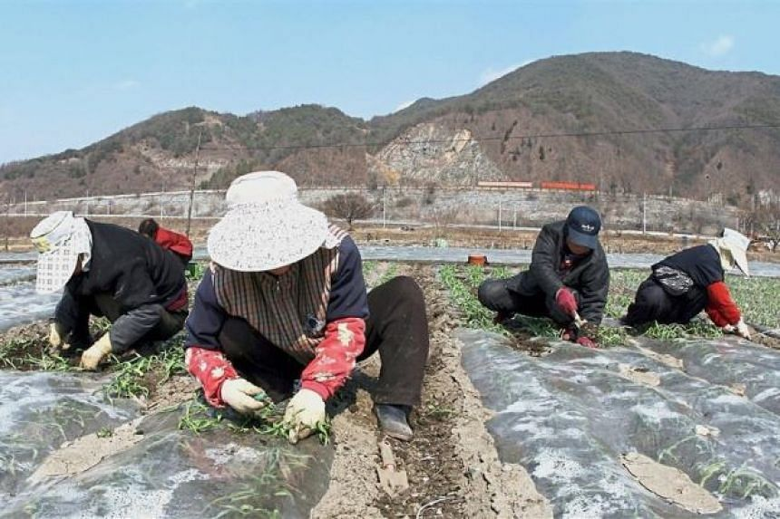 Malaysians seen working at a vegetable farm near Seoul.