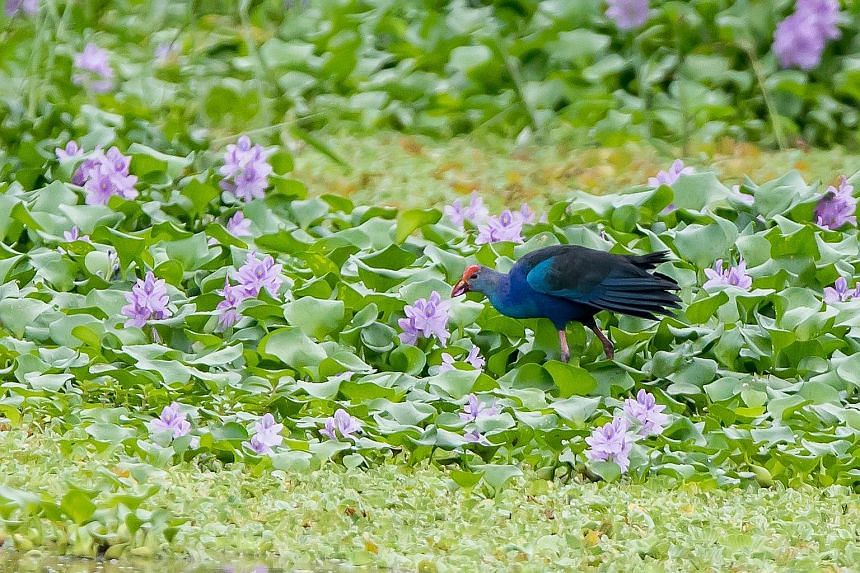 Nature lovers can also look out for the black baza at the marshes in the early mornings. Nationally threatened species like the purple swamphen (above) and red-wattled lapwing have been spotted at Kranji Marshes. Dr Adrian Loo, NParks' group director