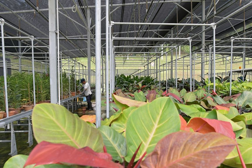 A worker prepares orchids for propagation in one of NParks Pasir Panjang nursery's shade houses.