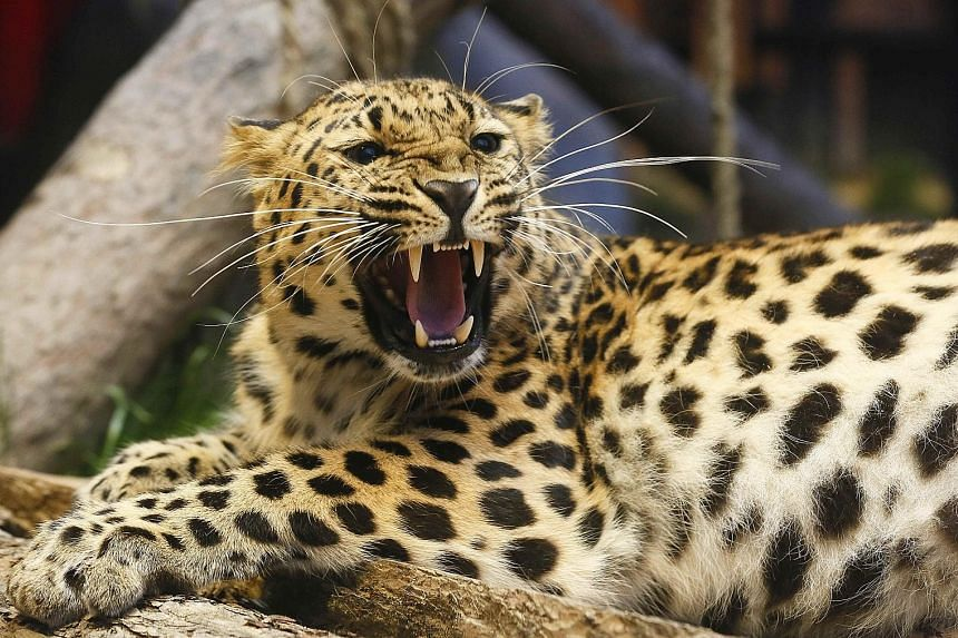"""An Amur leopard in a Siberian zoo. The report by WWF on the effects of global warming focused on 33 so-called """"Priority Places"""" which host some of the world's richest and most unusual terrestrial species."""