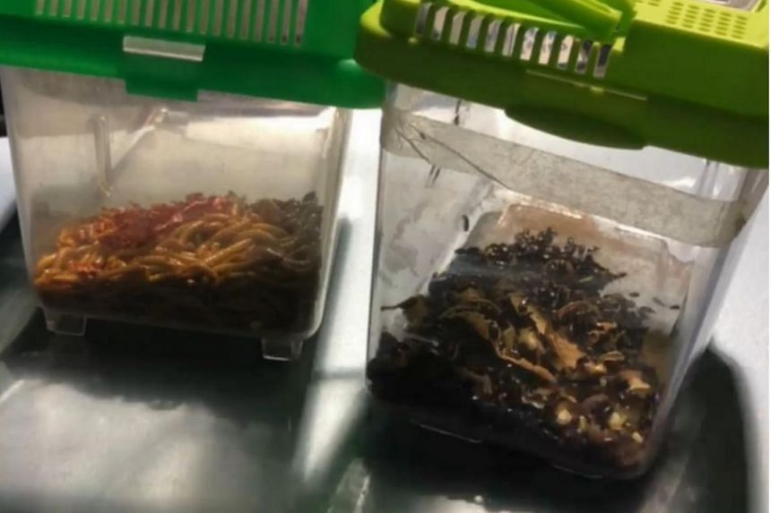On Feb 10, ICA officers found two small plastic aquariums containing live mealworms and insects in the back seat of a Singapore-registered car.