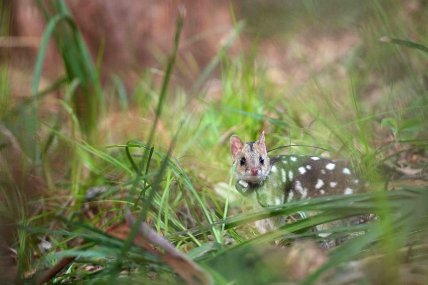 The eastern quoll - a furry carnivore about the size of a domestic cat - disappeared from mainland Australia in the 1960s but clung on in Tasmania.