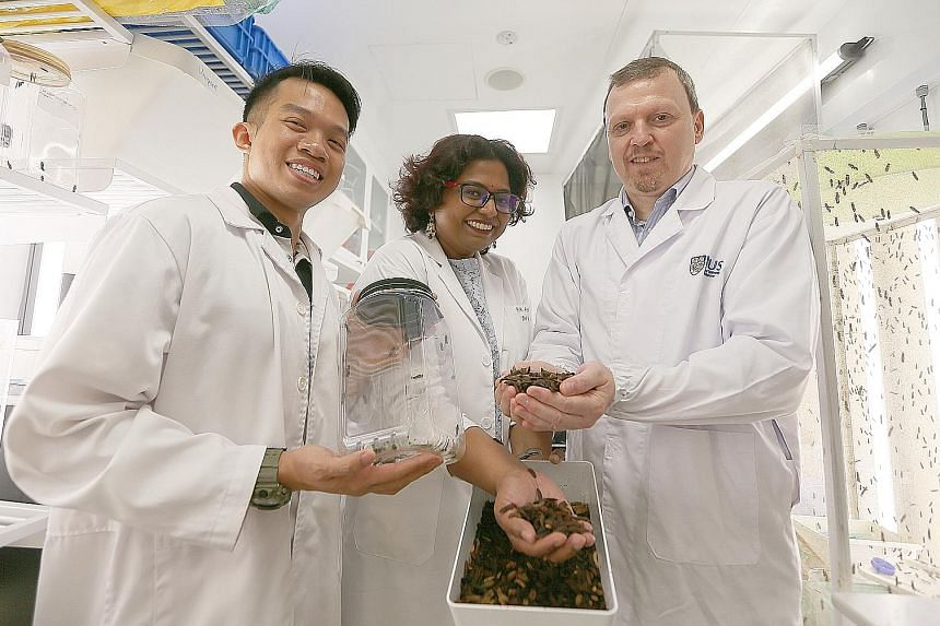 Above: A black soldier fly with its eggs in an NUS lab. From far left: Mr Foo Maosheng from the Lee Kong Chian Natural History Museum, Assistant Professor Nalini Puniamoorthy and Professor Rudolf Meier showing the larvae in an NUS lab.