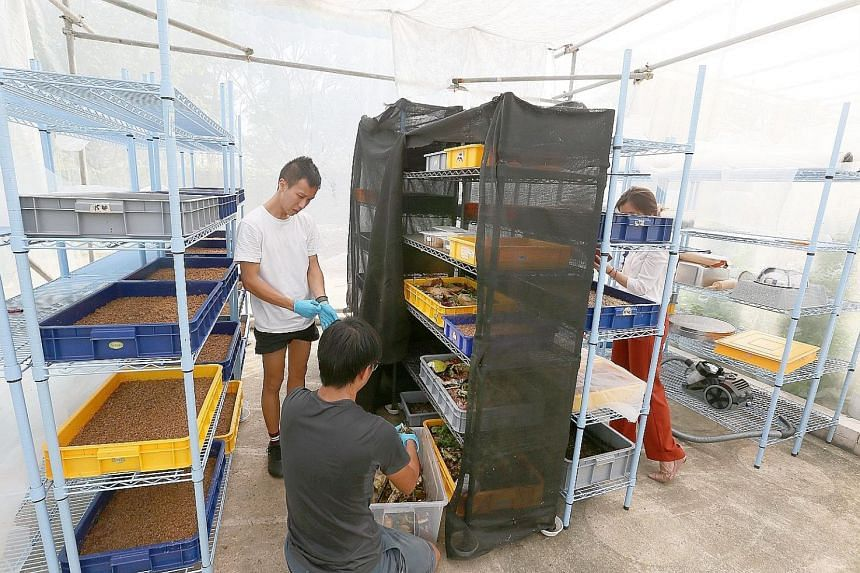 Mr Darren Ho (standing) uses the black soldier fly larvae to break down food waste. Today, Insectta recycles about 500kg of food waste into fertiliser daily.