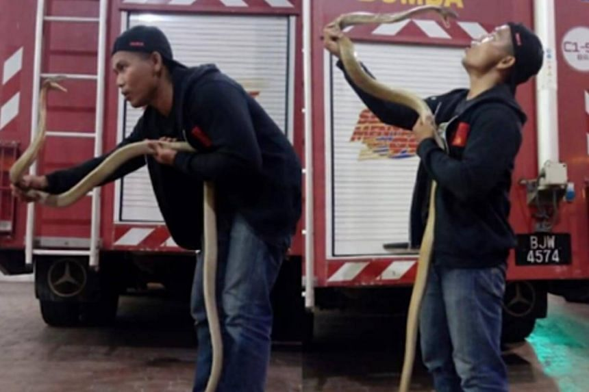 Malaysian 'snake whisperer' firefighter Abu Zarin Hussin, 33, died after he was attacked by a cobra.