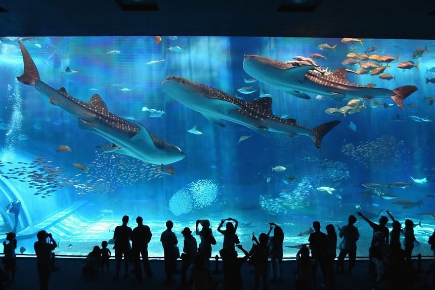 Located within the Ocean Expo Park, the Okinawa Churaumi Aquarium is one of the largest marine-themed attractions in the world where it is home to some 16,000 fish from 70 different species, and 70 species of corals in 800 colonies. PHOTO: Okinawa Pr