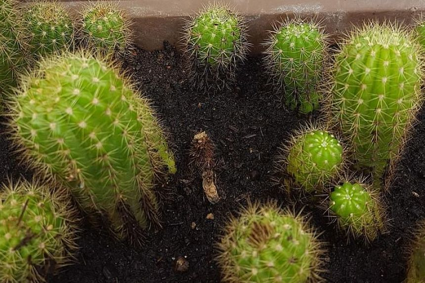 The cactus is botanically known as Echinopsis calochlora.