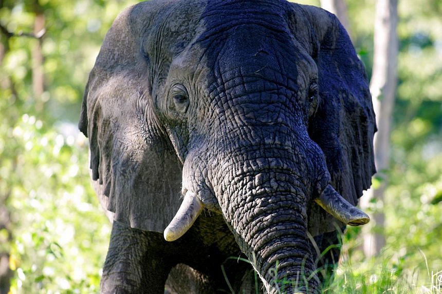 According to the first ever pan-African survey of savanna elephants in 2016, the present population is about 352,000, down from 1.3 million in 1979.