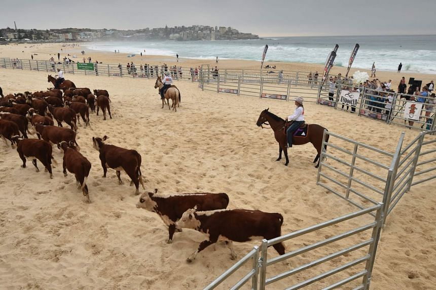 Cows are mustered after being released from a cattle truck onto Bondi Beach in Sydney on March 16, 2018.