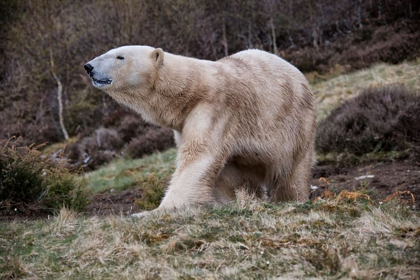 The cub was born to Victoria (pictured), one of the three adult polar bears at the Royal Zoological Society of Scotland's Highland Wildlife Park at Kincraig.