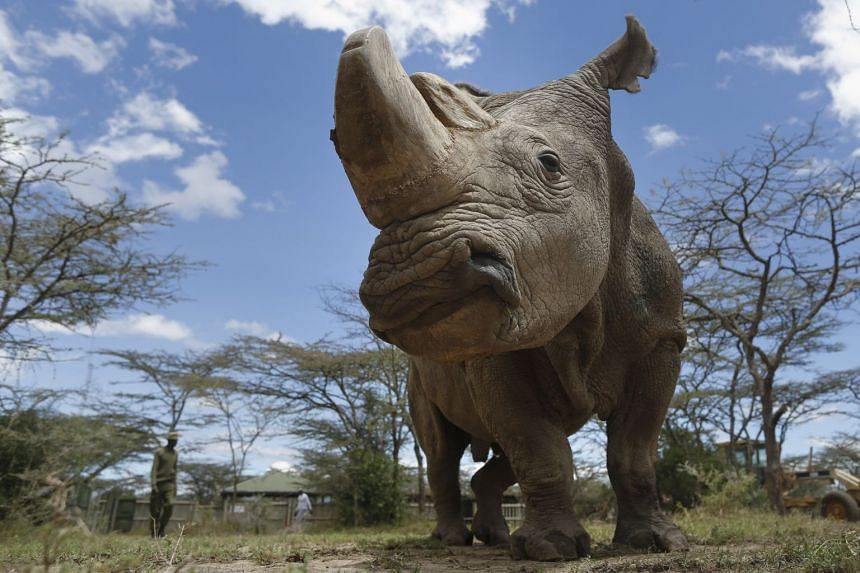 Sudan, a 45-year-old rhino, was being treated for age-related complications that had affected his muscles and bones and also gave him extensive skin wounds.