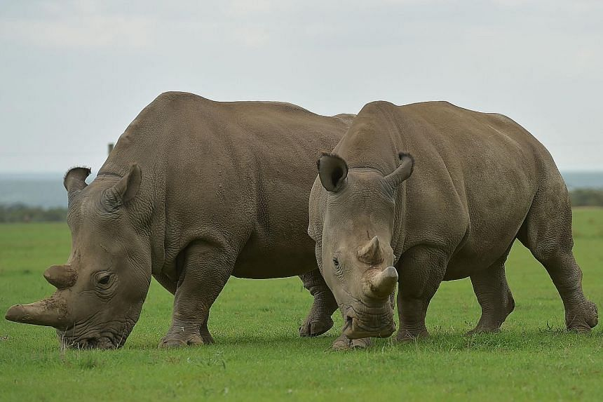 Najin (left) and Fatu, the world's last two female northern white rhinos, grazing together at the Ol Pejeta Conservancy in Nanyuki, Kenya. Sudan, the last male northern white rhino, died yesterday at the age of 45, after becoming a symbol of efforts