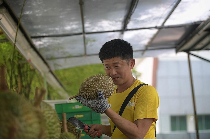 Mr Goh Ming Hong of Durian Mpire by 717 Trading sniffing a durian to check for ripeness before opening it. He says he is encouraged by the quality of the current bumper crop.
