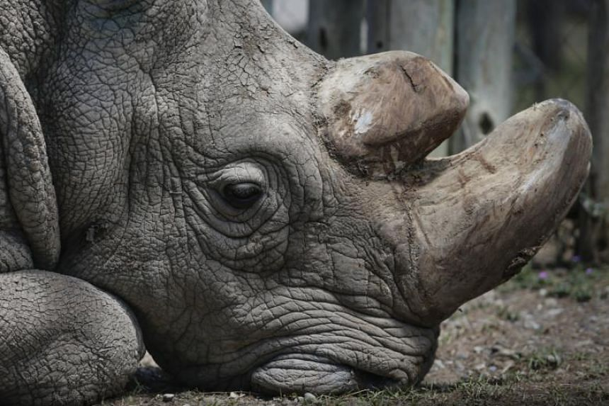 Ol Pejeta Conservancy announced that Sudan, who was 45 years old and the last surviving male northern white rhino on the planet, died at the Conservancy on March 19, 2018.