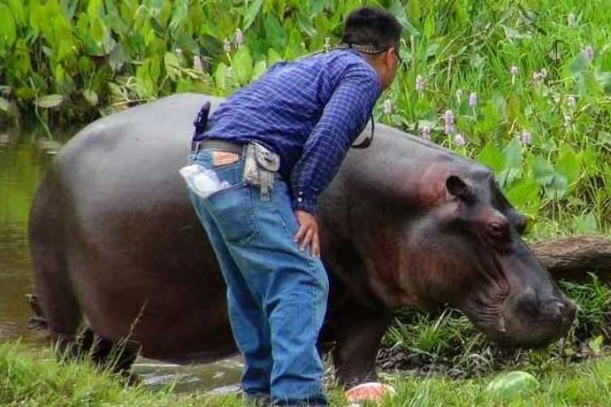 Tyson, as locals had named the stray hippo, drew a large fan following - and even inspired his own Facebook page - after mysteriously showing up several weeks ago in a rural area in Las Choapas, in the eastern state of Veracruz.