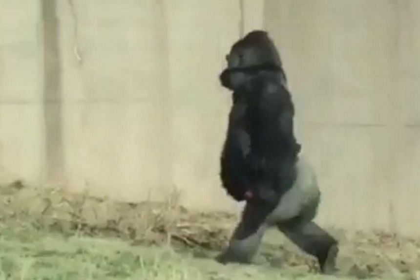 Although it isn't common for gorillas to walk on two legs, Louis had made a habit out of doing so regularly, said the  Philadelphia Zoo.