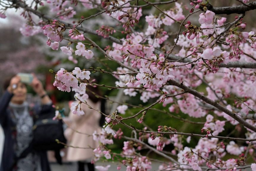 A woman taking photos with blooming cherry blossoms in Tokyo, Japan, on March 19, 2018.