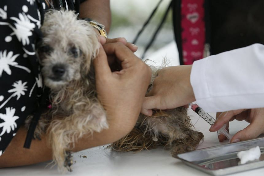 A Thai veterinarian injecting a dog with a rabies vaccine for free at the Small Animal Teaching Hospital of Chulalongkorn University in Bangkok, on March 19, 2018.