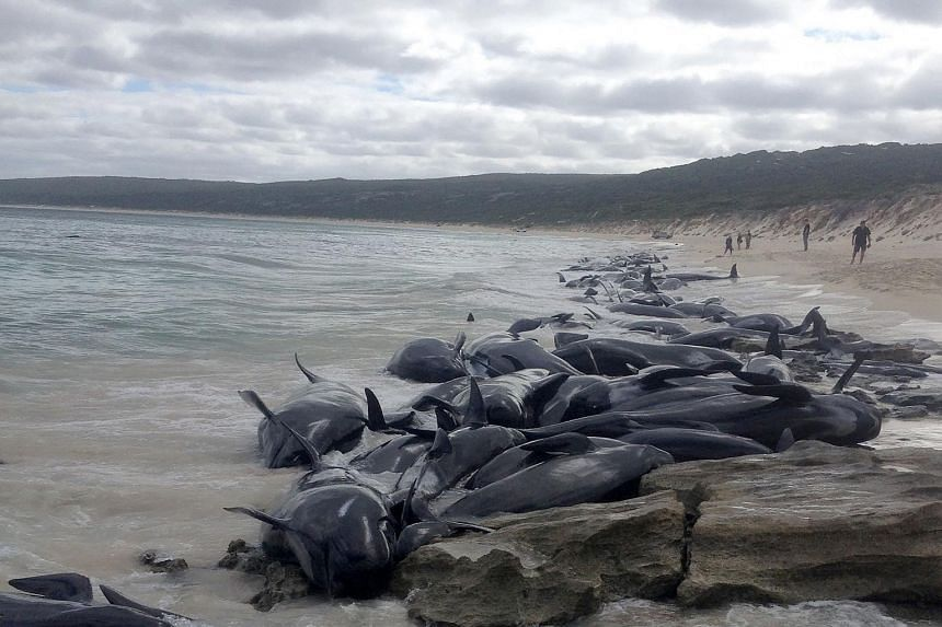Commercial fishermen spotted the beached whales in Hamelin Bay at daybreak.