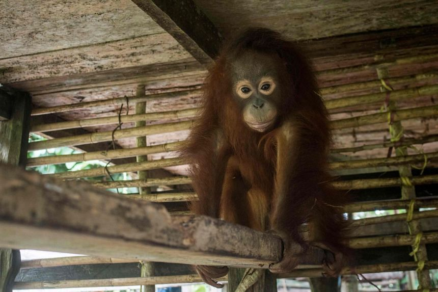 Utu the orangutan in his cage as environmentalists and local officials rescue him from villagers who had kept him as a house pet in Ketapang, West Kalimantan province.