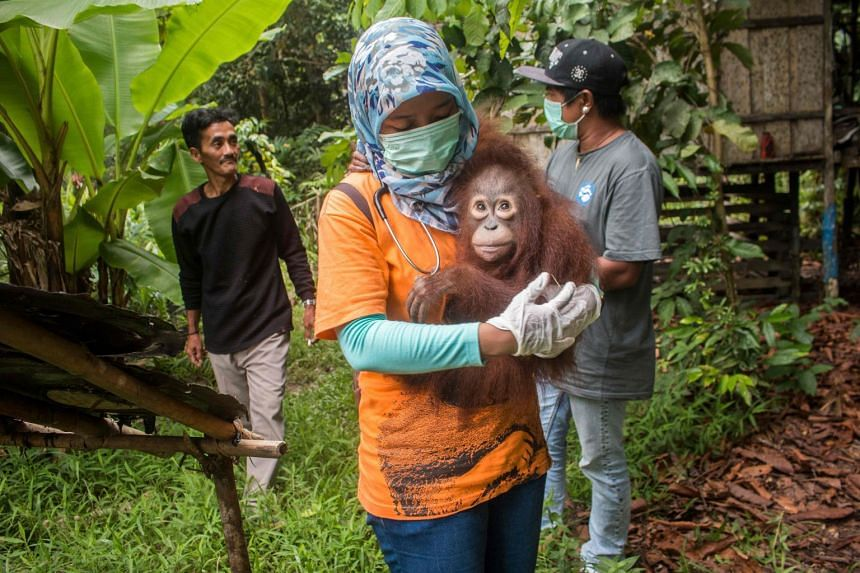 Utu the orangutan being carried after being rescued from villagers who had kept him as a house pet in Ketapang, West Kalimantan province.