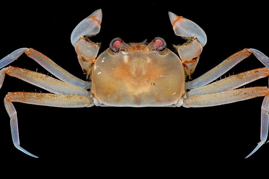 The Saudade six-legged crab, or Hexaplax saudade. This crab is found in various parts of the South China Sea, as well as the Philippines, Taiwan and Japan. It was discovered by Professor Peter Ng and Dr Dwi Listyo Rahayu, who named it in 2014. It has