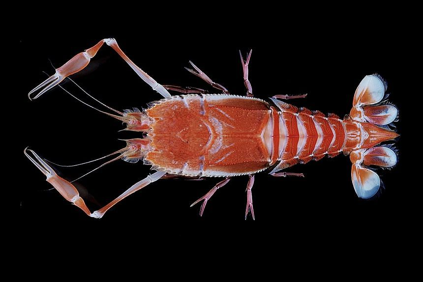 The blind lobster, or Polycheles typhlops. This lobster was collected by scientists during an expedition to the Philippine Sea, east of Luzon Island. This species is known to inhabit areas near coral banks on soft, muddy substrates.