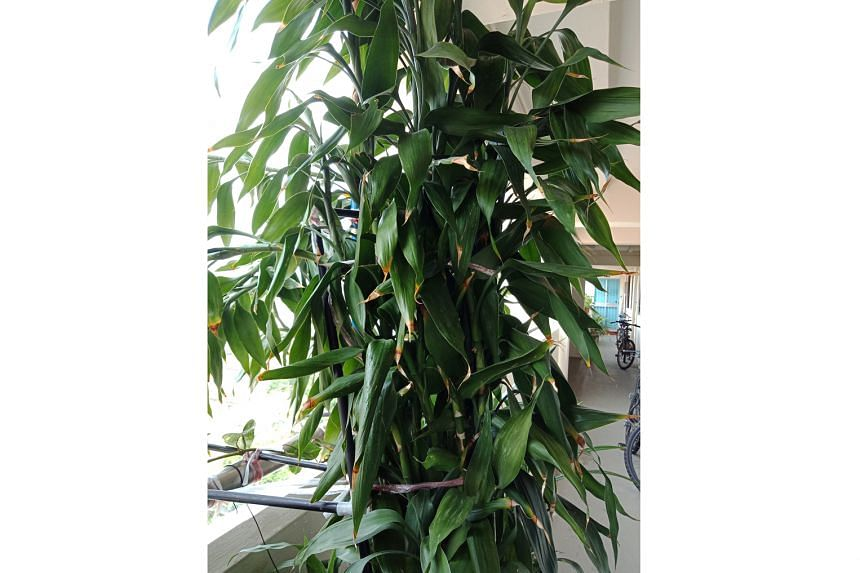 The plant is botanically known as Dracaena braunii.