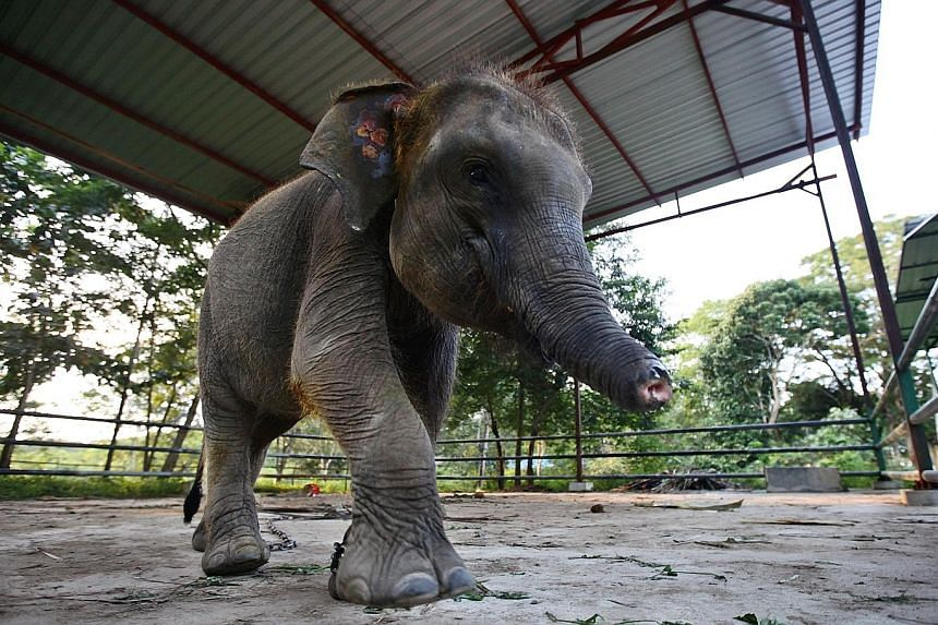 Erin the elephant was found in a poacher's trap near a housing settlement in Lampung province in 2016. Its trunk had been severed and it now has to learn to eat without using its trunk.