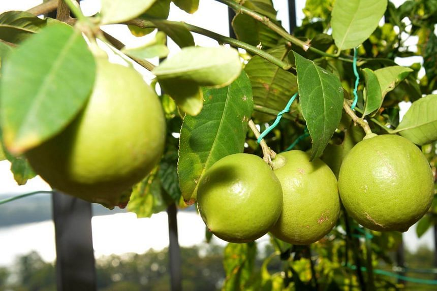 Citrus fruits do not ripen if they are harvested when immature.