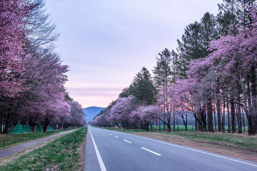 View cherry blossoms on both sides of the 20-Ken Road of Shizunai in Hokkaido, Japan.