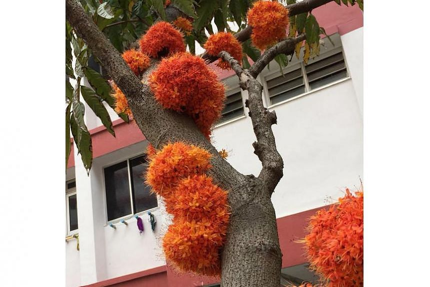 Flowers blooming on the trunk of a Saraca indica tree in Choa Chu Kang.