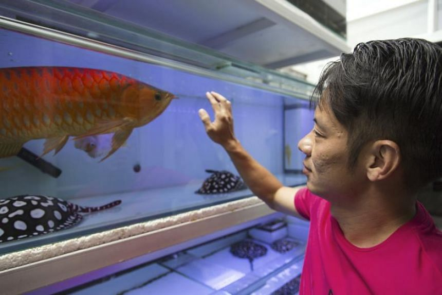 Kenny Lim, an arowana and stingray hobbyist, with his prized arowana at his home in Singapore on March 22, 2018.
