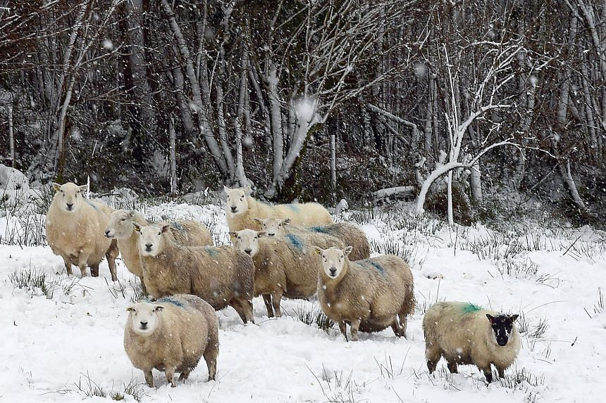 File photo showing sheep on a hill near Sennybridge, Wales, on Dec 10, 2017.