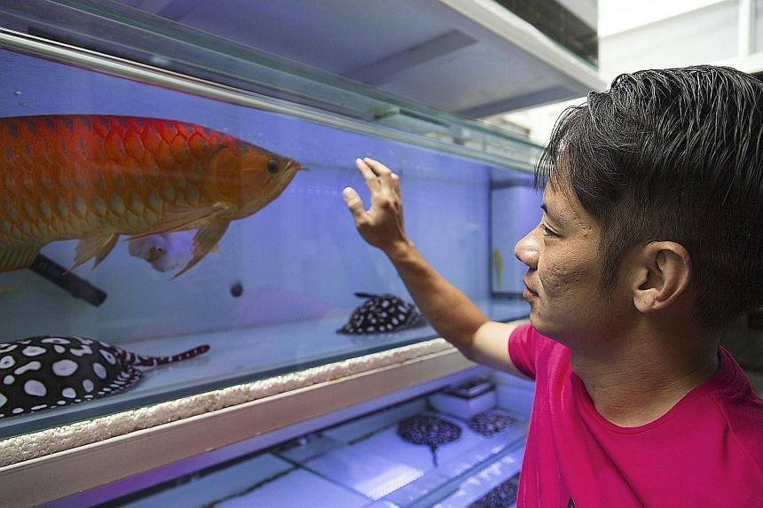 Mr Kenny Lim, an arowana and stingray hobbyist, has 13 of the prized fish, which can cost from a few hundred to tens of thousands of dollars each.