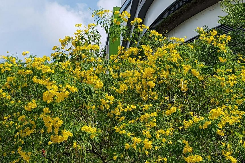The yellow flowers of the Tecoma stans have brightened up Airport Road, and will be a huge draw for insects and sunbirds who feed on their nectar. Commonly known by names such as golden bells and yellow bells, the plant is used for medicinal purposes