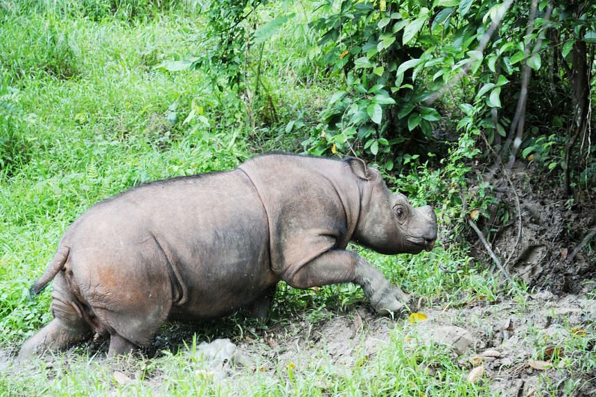 A baby southern white rhino with its mother at the Singapore Zoo in 2015. There are now about 20,000 southern white rhinos in the wild. A Sumatran rhino in the jungles of Tabin Wildlife Reserve in Sabah. It was captured in 2008 after wandering into a